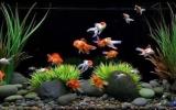养鱼发财?你家鱼缸里该养几条鱼?